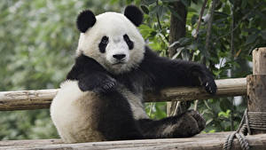 Fotos Pandas Blick Sitzt ein Tier