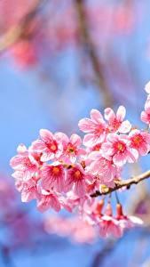Bureaubladachtergronden Bloeiende bomen Van dichtbij Boomtakken Sakura Roze kleur bloem