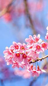 Papel de Parede Desktop Arvores floridas De perto Galho Sakura Cor-de-rosa flor
