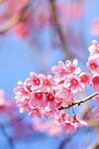 Bilder Blühende Bäume Hautnah Ast Japanische Kirschblüte Rosa Farbe Blüte