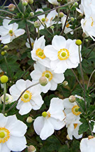 Fotos Windröschen Großansicht Weiß Blumen