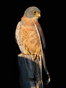 Fotos Falken Vögel Schwarzer Hintergrund Falco naumanni