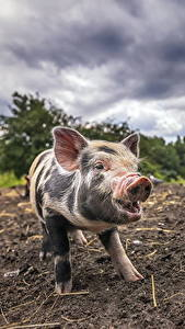 Wallpaper Domestic pig Soil Animals