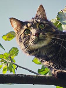 Fotos Katze Blick Ast Schnurrhaare Vibrisse Tiere