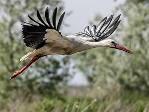 Bilder Vögel Storch Flug Tiere