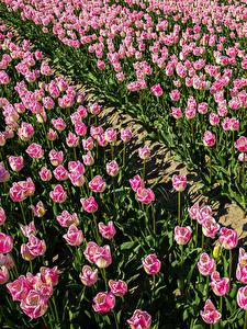 Hintergrundbilder Felder Tulpen Viel Rosa Farbe Blumen