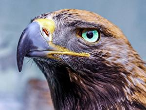 Bilder Adler Großansicht Augen Kopf Schnabel Starren Tiere