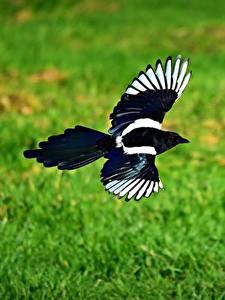 Hintergrundbilder Vögel Die Elster Flug Ein Tier Tiere