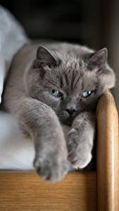 Images Cat Gray Paws Animals