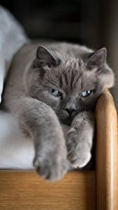 Papel de Parede Desktop Gatos Cinza Pata um animal