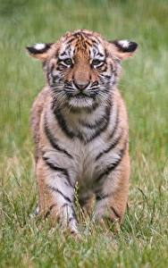 Wallpapers Tigers Cubs Sorrow Grass animal