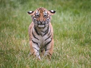 Wallpapers Tigers Cubs Sorrow Grass Animals
