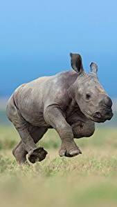 Fondos de Pantalla Rinocerótidos Cachorros Correr