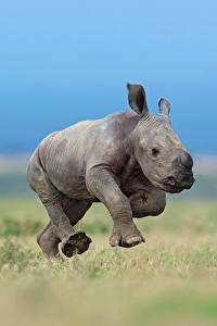 Hintergrundbilder Nashörner Jungtiere Laufen