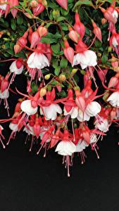 Fotos Hautnah Fuchsien Blumen