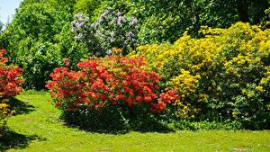 Bilder Vereinigtes Königreich Park Rhododendren Strauch Malmesbury Park