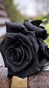 Bilder Rosen Großansicht Bretter Schwarz Bank (Möbel) Blumen