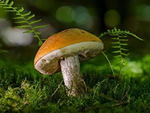 Bilder Pilze Natur Hautnah Laubmoose Leccinum