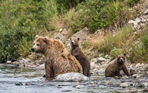 Hintergrundbilder Bären Braunbär Jungtiere Wasser Drei 3