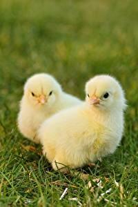 Bilder Vogel Hühner Gras Unscharfer Hintergrund 2 Gelb