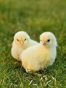 Bilder Vogel Hühner Gras Unscharfer Hintergrund 2 Gelb ein Tier