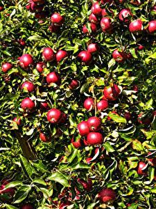 Fotos Äpfel Ast Rot Blatt