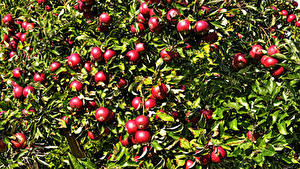 Fotos Äpfel Ast Rot Blatt das Essen