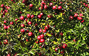 Fotos Äpfel Ast Rot Blatt Lebensmittel