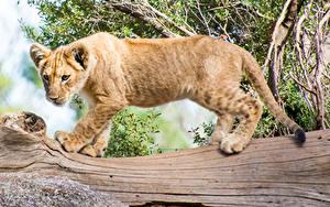 Fotos Große Katze Tiger Jungtiere Baumstamm