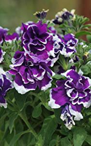 Hintergrundbilder Petunien Großansicht Violett Blumen