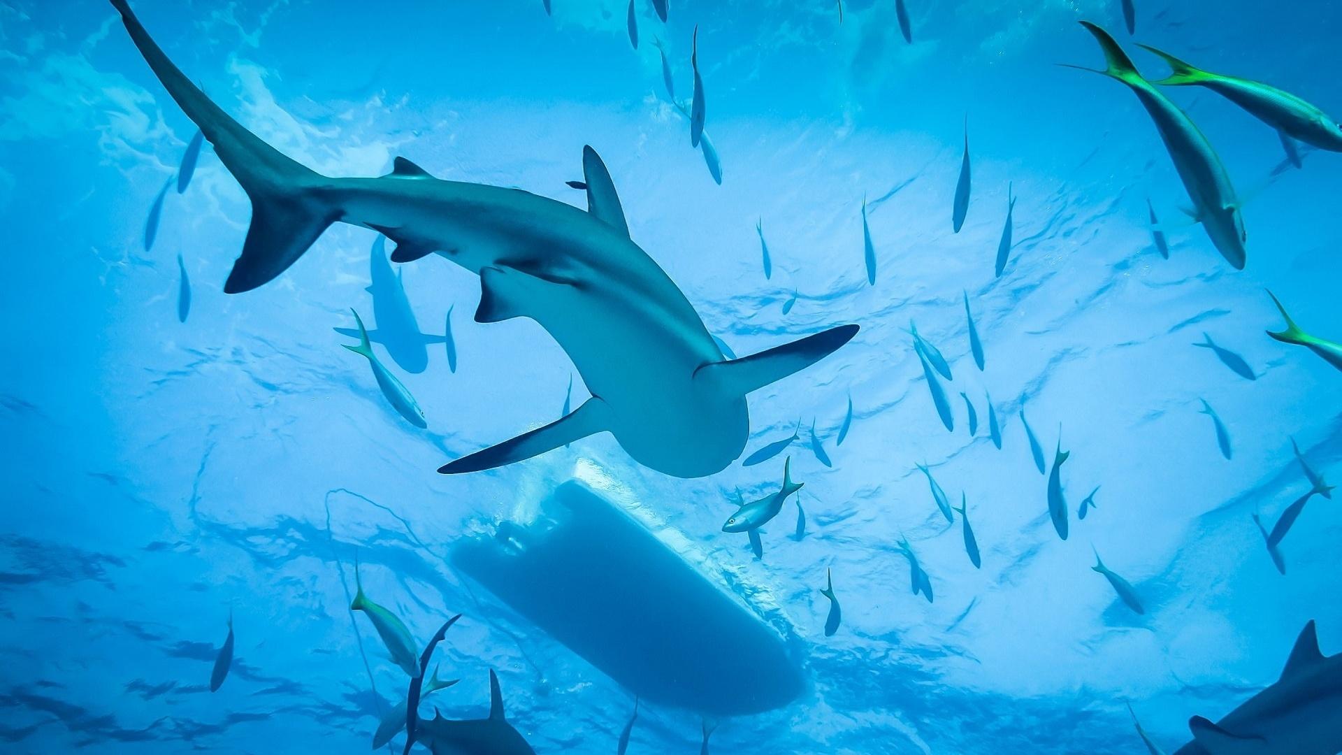 Fonds D Ecran 1920x1080 Requins Monde Sous Marin Animaux