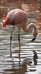 Hintergrundbilder Vögel Flamingos Wasser Tiere