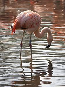 Hintergrundbilder Vögel Flamingos Wasser
