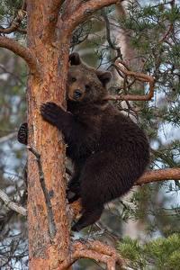 Fotos Bären Braunbär Jungtiere Baumstamm Peter Grischott