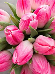 Bilder Tulpen Nahaufnahme Farbigen hintergrund Rosa Farbe Blumen