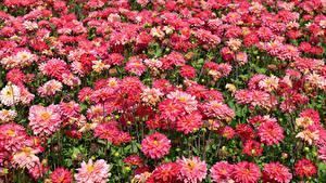 Fotos Georginen Viel Nahaufnahme Rosa Farbe Blumen