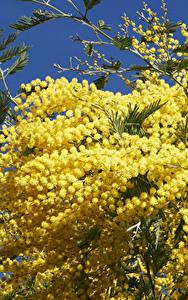 Hintergrundbilder Silber-Akazie Großansicht Gelb Blüte