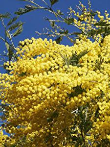 Hintergrundbilder Mimosen Großansicht Gelb Blumen