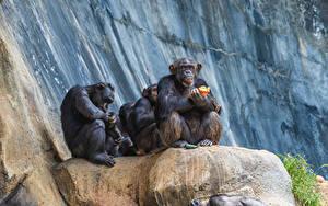 Hintergrundbilder Affe Sitzt ein Tier