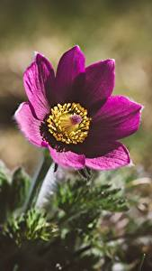 Pictures Pasque flower Closeup Blurred background flower