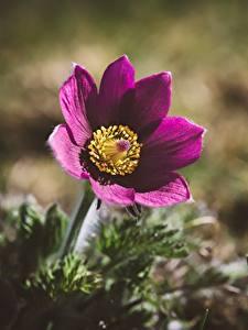 Bakgrunnsbilder Kubjelleslekta Nærbilde Uklar bakgrunn blomst