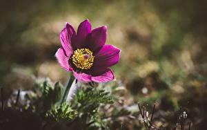 Fotos Kuhschellen Nahaufnahme Unscharfer Hintergrund Blüte