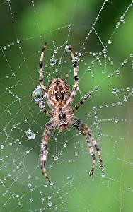 Bilder Webspinnen Großansicht Spinnennetz Tropfen Tiere