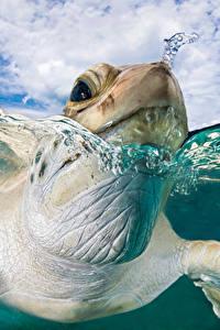 Bilder Schildkröten Makrofotografie Großansicht Wasser Kopf Schwimmt Tiere