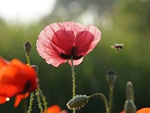 Bilder Bienen Insekten Mohn Rot Rosa Farbe Blumen