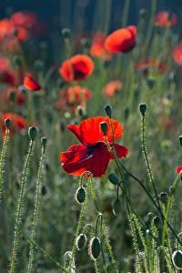 Papel de Parede Desktop Papoilas Broto Vermelho flor