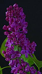 Bilder Syringa Hautnah Schwarzer Hintergrund Blumen