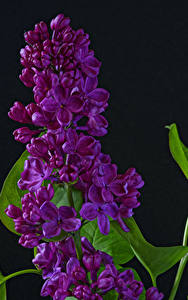 Pictures Syringa Closeup Black background Flowers