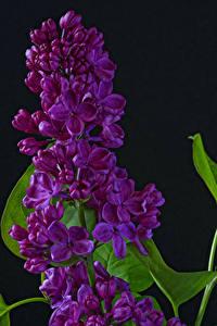 Bilder Syringa Großansicht Schwarzer Hintergrund Blumen
