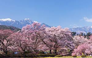 Fotos Japan Park Frühling Blühende Bäume Hokuto Yamanashi Prefecture